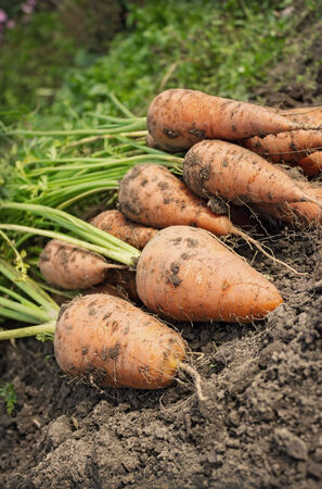 arable land: Fresh carrot lying on the edge of the arable land