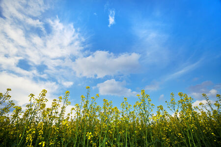Canola field and sky with clouds photo