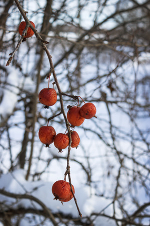 wilding: Fruits wild Apple trees forest  winter on twig. February