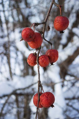 wilding: Fruits wild Apple trees forest  winter. February