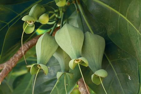 barringtonia: Fruits Barringtonia (Barringtonia asiatica) or Sea Poison Tree
