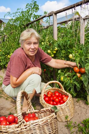 kitchen garden: Elderly mistress of kitchen garden reaps crop tomatoes