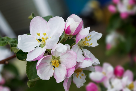 bourgeon: Few pink blossoms on apple tree branch