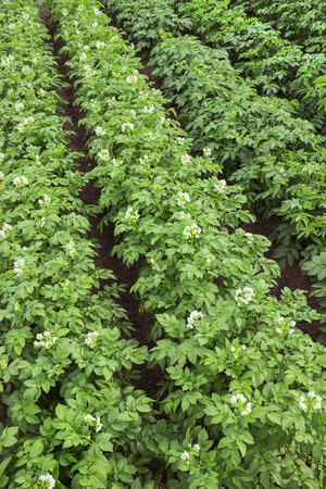 small field: Blooms good potato variety in a small field the summer season