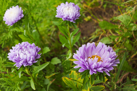 despite: Despite the cold weather asters bloom in October Stock Photo