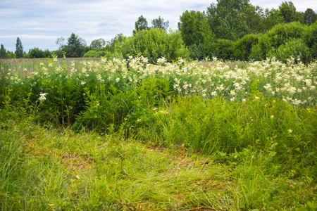 midst: Thickets of meadowsweet. Flowering in the midst of her Stock Photo
