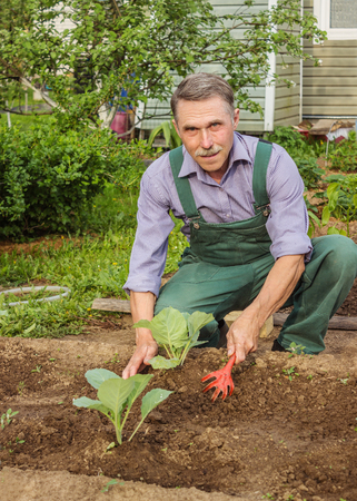 spud: Elderly gardener spud cabbage seedlings. May Stock Photo