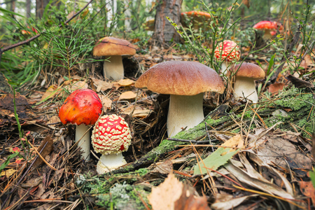 grown up: Variety of mushrooms grown up together in the woods. September