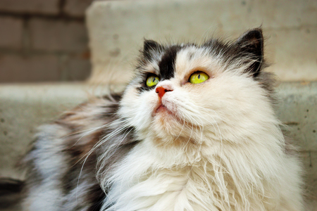Persian calico cat with green eyes