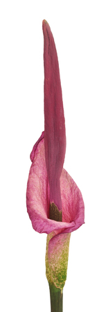Blooming Amorphophallus on a white background, the beginning of flowering