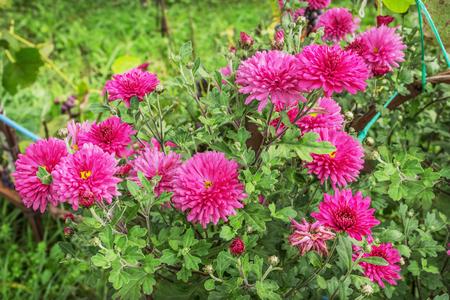 Bright pink chrysanthemums in an autumn garden, September Stock Photo