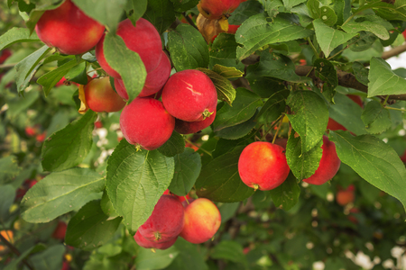 Bright red apples on a branch in August