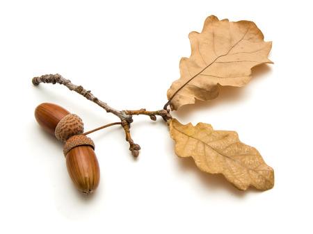Op een witte achtergrond zijn twee eikels en eikenbladeren, October