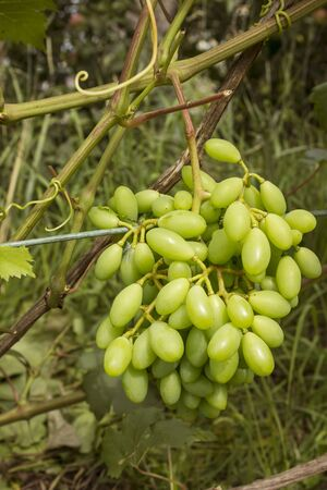 Bunch of green grapes leaning it was inclined to earth under own weight Stock Photo