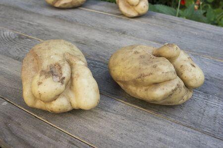 Two ugly potatoes. Cracks due to adverse summer season