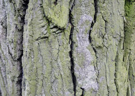 Bark a of poplar, spring season. The poplar bark is covered by a lichen photo