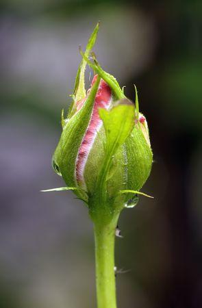 Rose bud after evening rain. Beautiful flower in garden