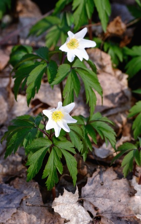 windflower: Anemone (windflower) in forest