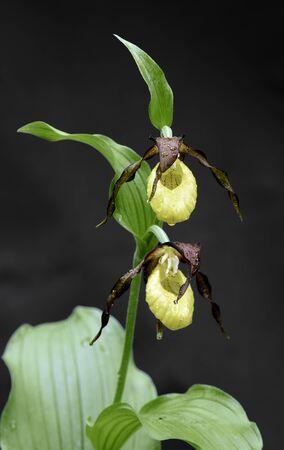 showy: Showy Ladys Slipper (Cypripedium calceolus) - isolated on a dark background