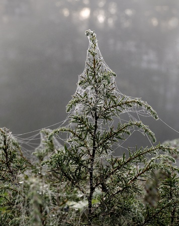 spider net: Juniper bush. Spider net. Dewdrops hanging like pearls on this web in the early morning.