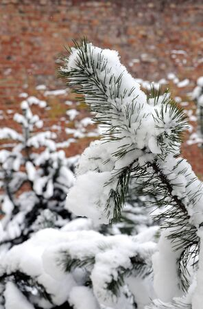 Snow covered pine branch. Frosty winter day Stock Photo - 12197594
