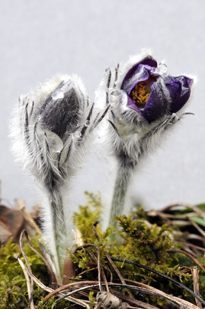 A beautiful of purple pasque flowers  on a gray background. Spring flower. April at Lithuania.   photo
