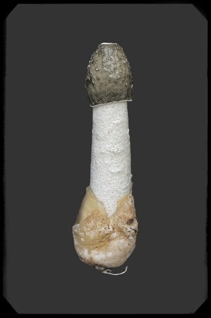 phallus: Common stinkhorn  Phallus impudicus  isolated on dark gray background