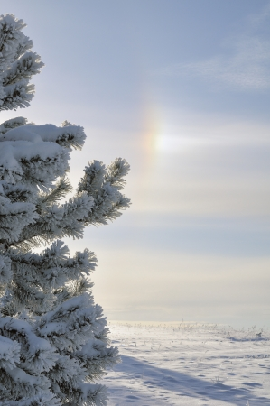 occurrence: Snow covered pine and unusual occurrence a winter rainbow halo Stock Photo