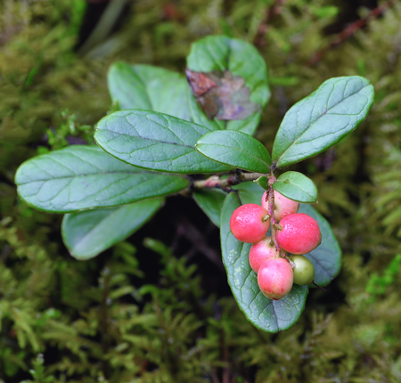 mountain cranberry: Foxberry on a  twig in the forest