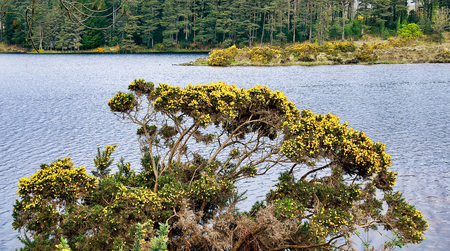 hedging: Gorse hedging  Ulex europaeus   Ulex bush near Glenveagh lake  National park, County Donegal, Ireland  Stock Photo