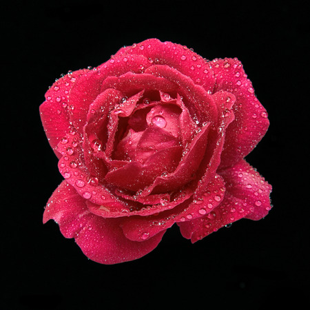 ata: Red rose isolated ata black background. Raindrops