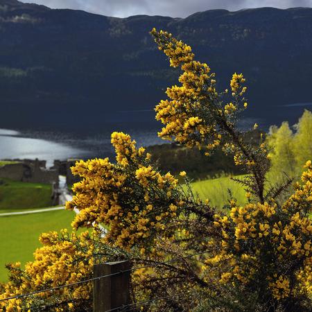 hedging: Gorse hedging Ulex europaeus. Ulex bush near loch Ness. Highland, Scotland.