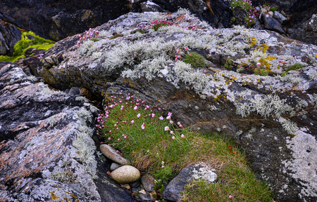 Muckross Head, county Donegal coast. Flowering Thrift or Sea Pink - Armeria maritima.Boulders planted covered Stock Photo
