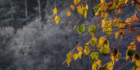 Birch foliage in frosty autumn morning. Sunrise light.