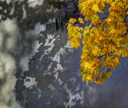 Maple autumn foliage at monastery wall backgound