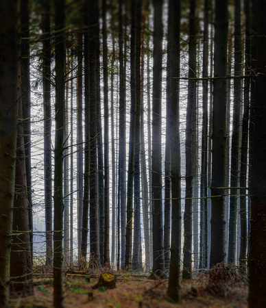 Light mist in a spruce forest