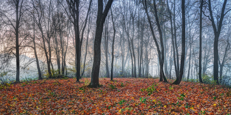 Cold and misty autumn morning in a maple foorest.