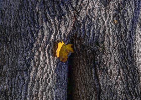 Maple bark texture. Yellow leaf.