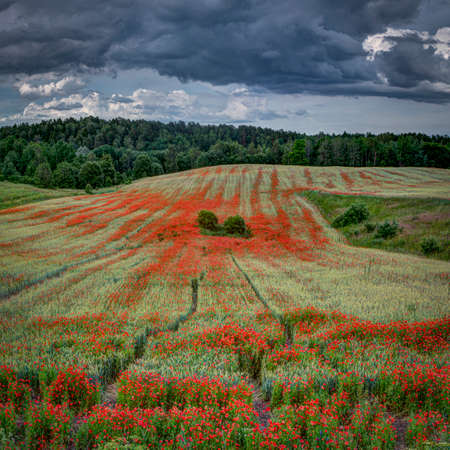Blooming poppies in rye field in a  summer early evening. Cloudy sky and forest near horizon line