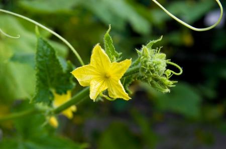 Flowers of cucumber