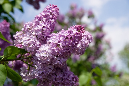 Lilac flowering Stock Photo