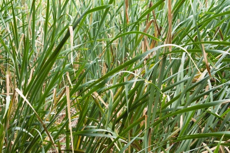Jungles of cattail photo