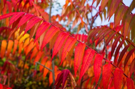 Leaves autumn bright red Stock Photo