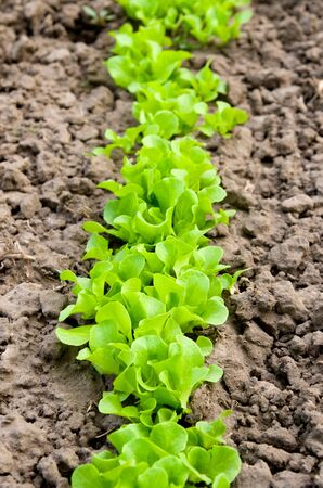 Sprouts of lettuce on a bed Stock Photo