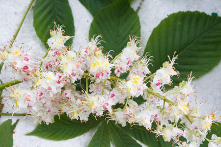 Flowers of chestnut photo