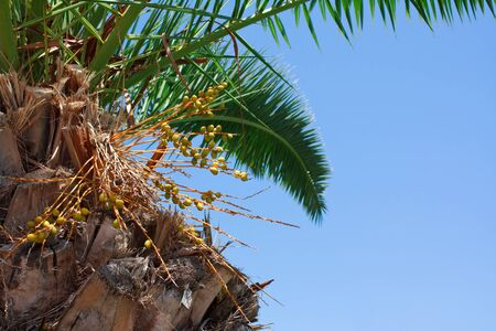 Squeaking dates tree palm Stock Photo