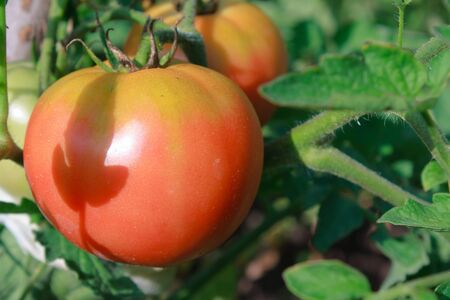 Tomato on a vegetable patches Stock Photo