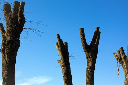 sawed: Trunks of trees with the sawed down branches