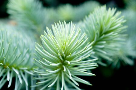 Pine needle young photo