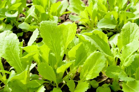 Lettuce grows on a bed photo